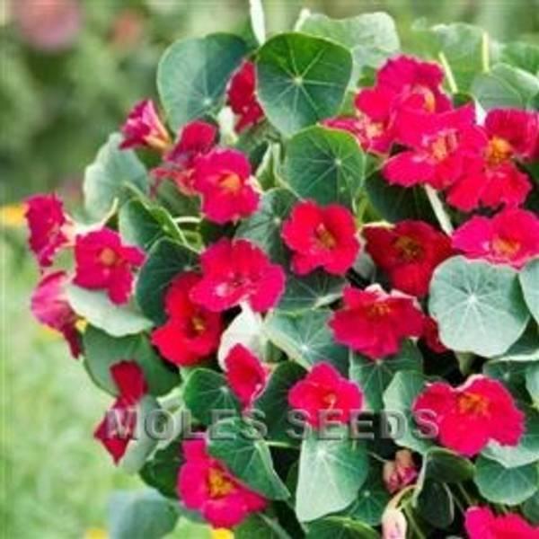 Blomkarse 'Baby Rose' - Tropaeolum majus