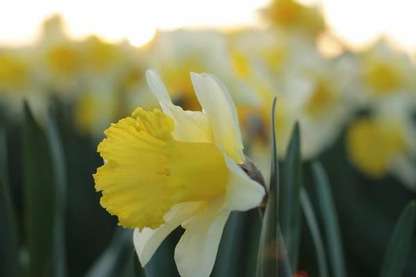 Påskelilje 'Las Vegas' - Narcissus - 10 stk