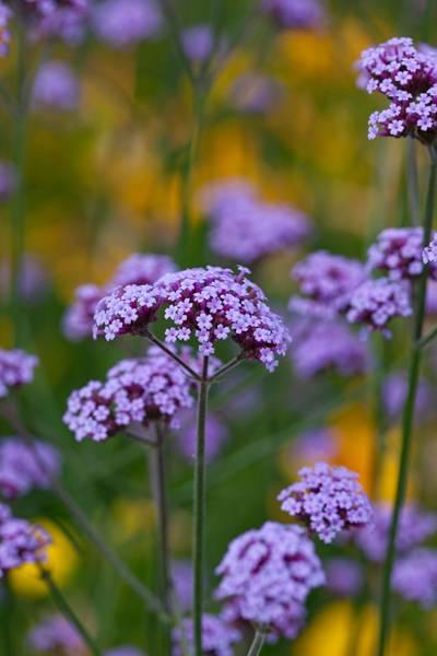 Kjempeverbena - Verbena bonariensis