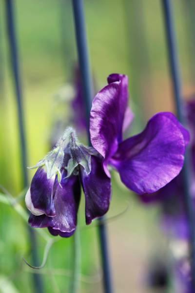 Blomsterert 'Lord Nelson' - Lathyrus odoratus