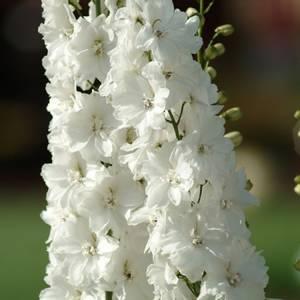 Bilde av Ridderspore 'Guardian White' - Delphinium