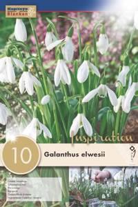 Bilde av Stor snøklokke - Galanthus elwesii - 10 stk