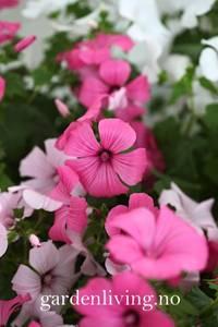 Bilde av Hagepoppelrose 'Parade Mixed' - Lavatera trimestris