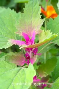 Bilde av Kjempemelde - Chenopodium giganticum