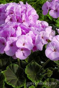 Bilde av Pelargonium 'Bulls Eye Light Pink'
