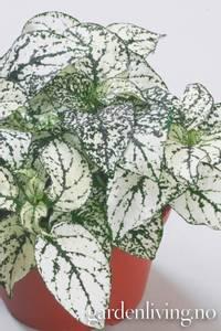 Bilde av Prikkeplante 'Confetti White' - Hypoestes phyllostachya