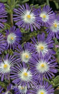 Bilde av Middagsblomst 'Stardust' - Delosperma floribunda