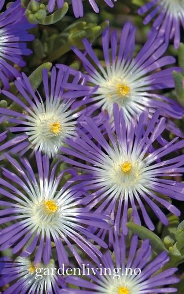 Middagsblomst 'Stardust' - Delosperma floribunda