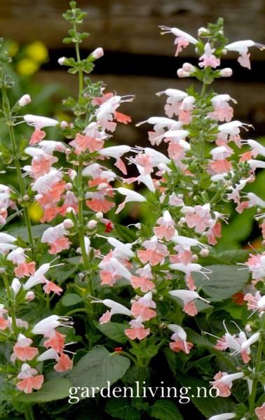 Salvie 'Summer Jewel Pink' - Salvia coccinea