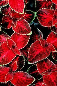 Bilde av Praktspragle 'Wizard® Velvet Red' - Solenostemon blumei