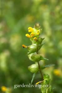 Bilde av Småengkall - Rhinanthus minor