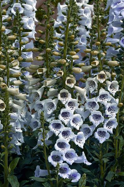Revebjelle 'Camelot Lavender' - Digitalis purpurea
