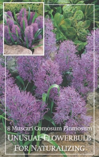 Perleblomst 'Plumosum' - Muscari comosum - 8 stk