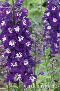 Bilde av Ridderspore 'Magic Fountains Dark Blue/White Bee' -