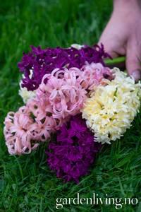 Bilde av Perfect Combinations Svibler Oriental Blend - 8 løk