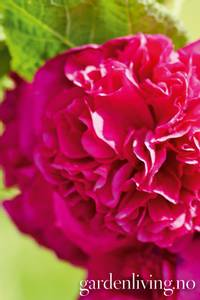 Bilde av Stokkrose 'Chater's Double Violet' - Alcea rosea