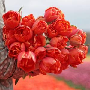 Bilde av Tulipan 'Queensday', Sen Dobbel - 10 stk