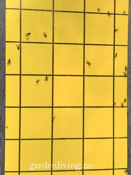 Limfelle mot flygende insekter