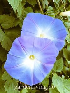Bilde av Vindel, prakt 'Heavenly Blue' - Ipomoea tricolor