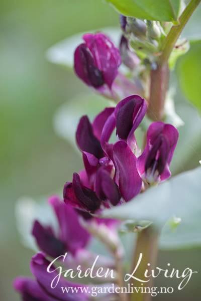 Bønne 'Crimson Flowered' - Bondebønne - Vicia faba
