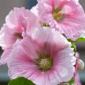 Bilde av Stokkrose 'Henry VIII Pink' - Alcea rosea