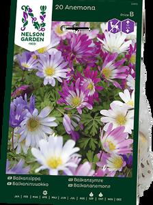 Bilde av Balkansymre - Anemone blanda - 20 stk