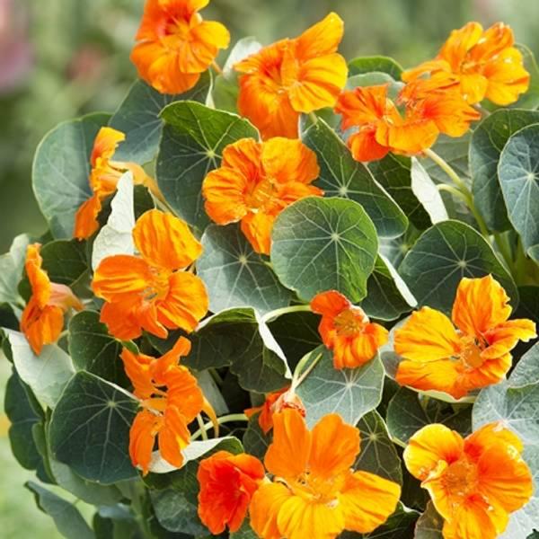 Blomkarse 'Baby Orange', lav - Tropaeolum majus