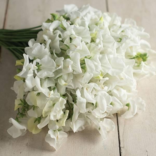 Blomsterert 'Royal Wedding' - Lathyrus odoratus