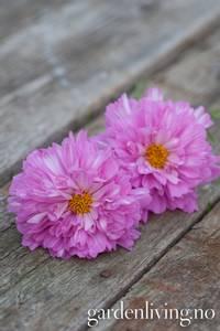 Bilde av Pyntekorg 'Double Dutch Rose' - Cosmos bipinnatus