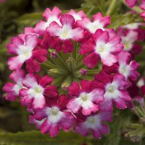 Bilde av Verbena, Hage- 'Twister Red' - Verbena x hybrida