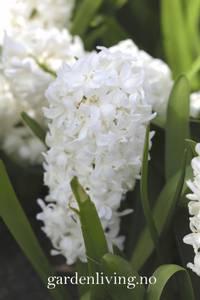 Bilde av Svibel 'White Pearl' - Hyacinthus - 4 stk