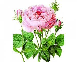 Bilde av NHM Kort, dobbelt med konvolutt- Rosa gallica