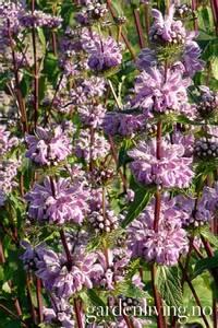 Bilde av Pagodeblomst - Phlomis tuberosa