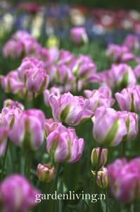 Bilde av Tulipan 'Groenland', Viridifloragruppen - 8 stk