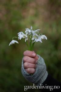 Bilde av Snøklokke, fyllt - Galanthus nivalis 'Flore Plena' - 10 stk